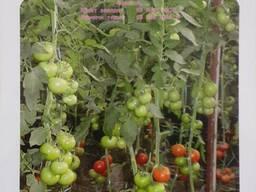 Adriatika F1 Семена красных томатов