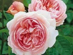 Bahor Gullari-Розы