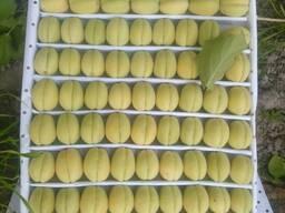 Абрикосы из солнечного Узбекистана оптом