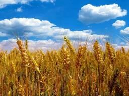 Hipro пшеница