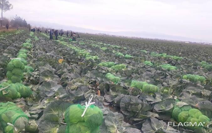 Капуста молодая уражай 2020 года из Узбекистана