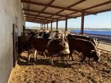 КРС, стадо, быки, телки, нетели - photo 2