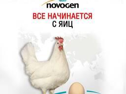 """""""Novogen"""" бир кунлик макен (товук) жужалари бор."""