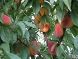 """Персики сорта """"Инжирный"""" - фото 1"""