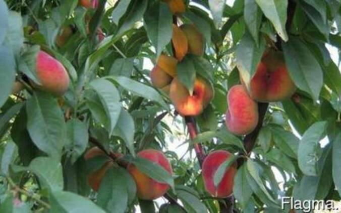 """Персики сорта """"Инжирный"""""""