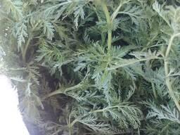 Полынь однолетняя. Artemisia annua