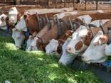 Поставка племенных коров из европы в страны Снг - фото 4