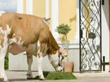 Поставка племенных коров из европы в страны Снг - фото 5