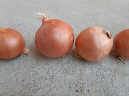 Продается семена лука сорт Берекет, Банко и Пандеро.
