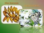Продажа куколок тропических бабочек, коконы бабочек, ферма - фото 5