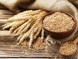 Пшеница - фото 1