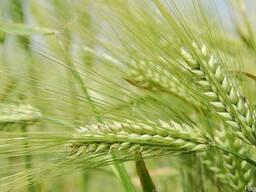 Пшеница 3,4,5 класса, отруби, Овес, Ячмень, Рапс,