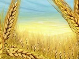 Пшеница 3 класс клейк .27-28