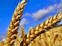 Пшеница 4 и 5 класс