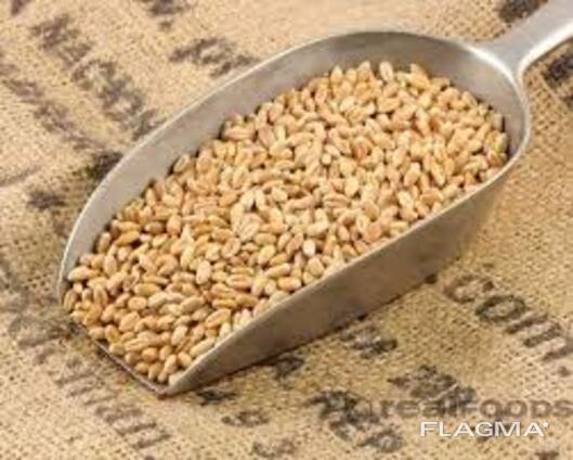Пшеница 4класс