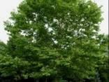 Саженцы чинара (платан) - фото 3