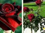 Саженцы роз - фото 6