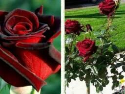 Саженцы роз - photo 5