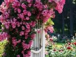Саженцы роз - photo 1