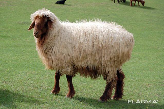 Шерсть овечье