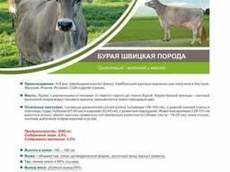 Швицкая-бурая корова