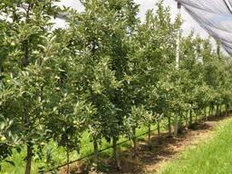 Высокоурожайные интенсивные сады саженцы