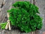 Зелень петрушки, укропа, щавеля, мяты. кориандр - фото 1