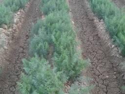 Зелень. Укроп и петрушка уражай 2020 из Узбекистана