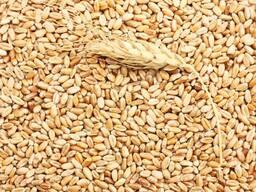 Зерно пшеницы, льна